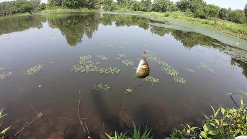钓鱼:就这几颗水草中间,钓上一天都不会停口的!