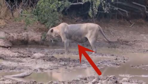 狮子被毒蛇咬后,下一秒直接陷入癫狂,家人只能无助的看着它死去