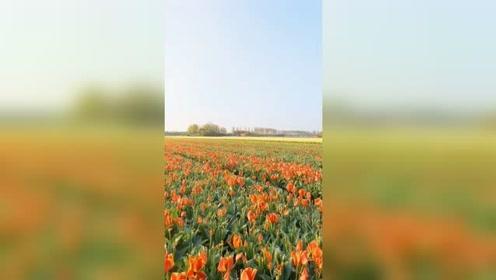 漫山遍野的花,这里太美了