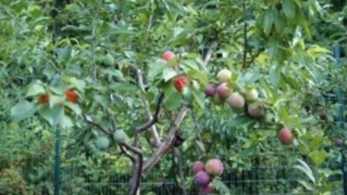 """最""""神奇""""的一颗果树 一棵树上长出40多种水果 都能开一个水果店了"""