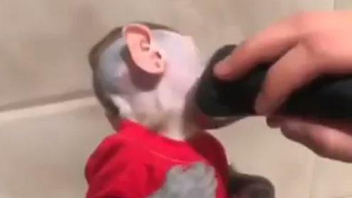 """主人给猴子剃毛,剃完后人们不淡定了,这分明是个""""人""""嘛"""
