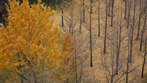 银杏林下落叶美,公园里的落叶景观能不清扫多保留一段时间吗