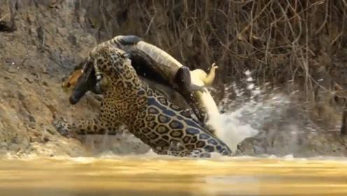 一直以为凶猛的鳄鱼是水中霸主,直到美洲豹跳入水才知道什么叫霸主