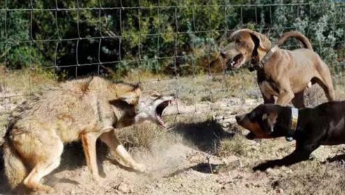 一条狼被群狗围攻,正面对战却毫无还手之力,最后只能落荒而逃