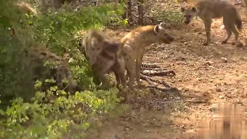 虎落平阳被犬欺!受伤豹子不幸遇到出来觅食的鬣狗群,看来这次是在劫难逃了