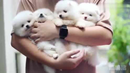 一窝雪白的小博美,抱着这些小白胖子好幸福呦