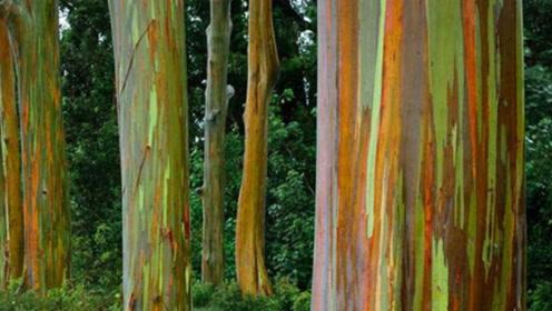 能够变色的彩虹树,五彩斑斓的原因竟然是它的树皮