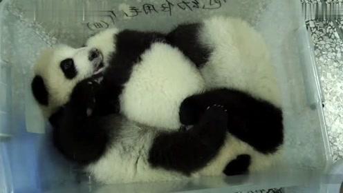 大熊猫挤在一起睡觉,太可爱了