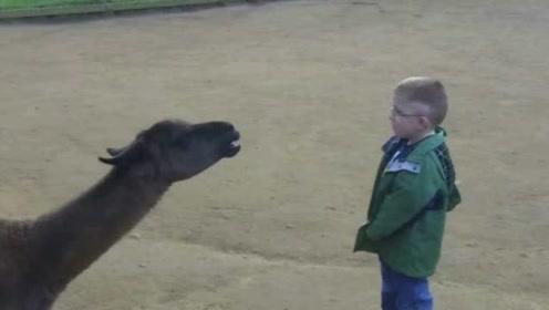 小男孩挑衅骆驼,两个互相喷口水,下一秒他就认输了!