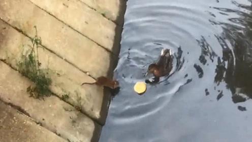 老鼠的面包掉到水里,一只鸭子路过看见了,下一秒是这样?