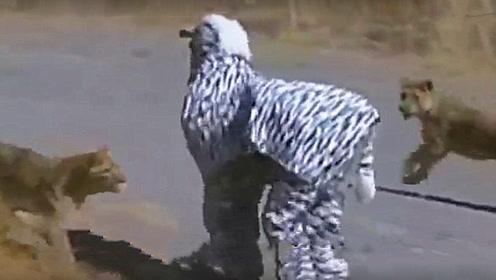 两男子作死在草原上假扮斑马,结果竟然引来了狮子!还能跑掉吗?