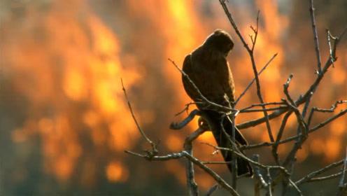 澳大利亚现猛禽纵火犯,叼着燃烧的树枝去焚山,镜头记录全过程
