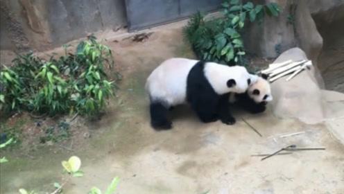 熊猫宝宝偷溜出去玩,回来就被妈妈修理了一顿,它的反应承包我一年笑点