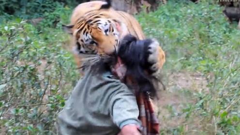为什么老虎一旦吃了人就要被杀掉 ?专家:不杀后果很严重!