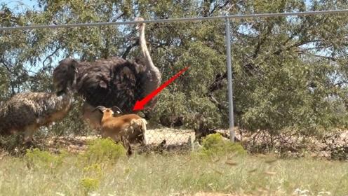 黑狼惹毛公羊,大战一触即发,还有一网之隔的鸵鸟看热闹