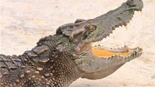 在一场单打独斗中,鳄鱼一个不留神让巨蟒钻了空子,看来这次要栽在这里了