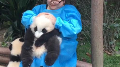 熊猫宝宝是棉花糖做的吧,奶妈抱着使劲揉,网友:太羡慕了