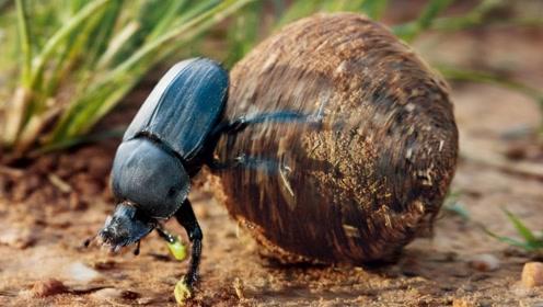 埃及古墓的圣甲虫,其实就是我们身边的自然清道夫