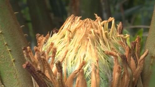 1000多年的铁树终于开花,而且还分雌雄,一辈子都难得一见