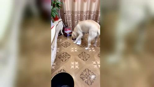 主人交待狗狗任务,拉布拉多能完成吗?这只狗真不简单