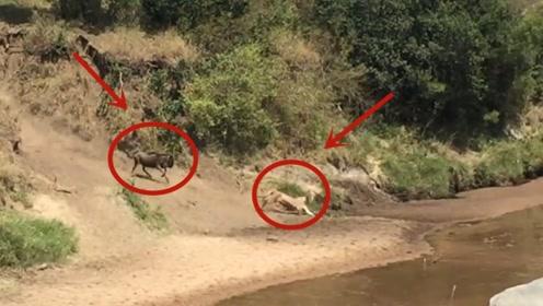 母狮捕食角马,结果却碰上个硬茬,反被角马一路狂追!