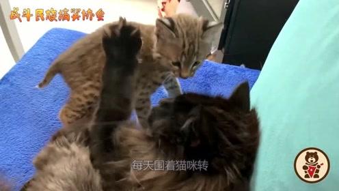 猞猁宝宝把猫咪当成同类了,上去就亲,主人都看不下去了