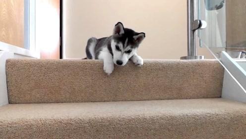 二哈下楼梯发现全是狗粮,反应竟然不知所措,这下可就好玩了