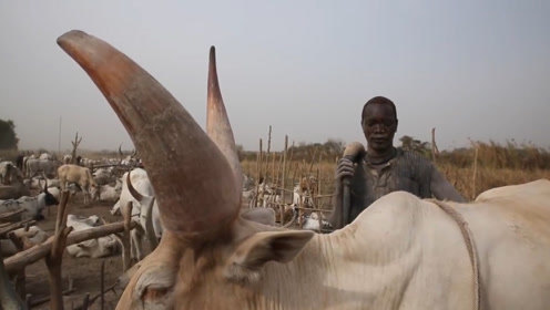 非洲最独特的原始部落,用牛尿洗头,一生当中牛就是老婆