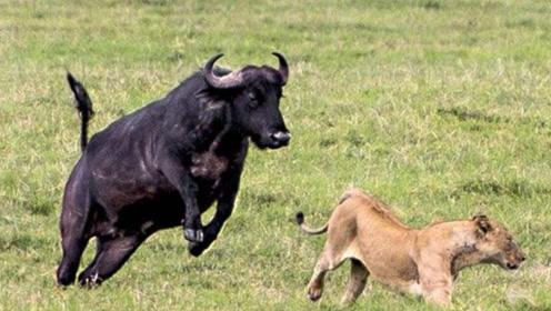 老水牛遭狮子疯狂追杀,不料水牛一个转身,把狮子干成怂货