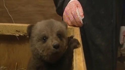 大叔捡到一只棕熊宝宝,长得和玩具熊一模一样,太可爱了