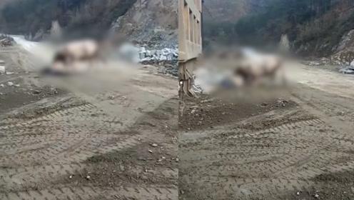 悲剧!老农采石场旁被自家耕牛撞死,家属质疑工地噪音惊扰导致