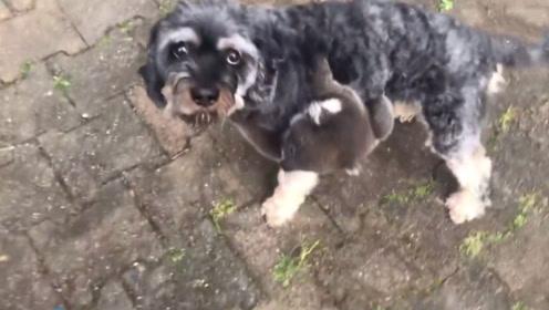 一只掉到树下的考拉宝宝把狗狗误认成亲妈,死死抱着不肯松爪!