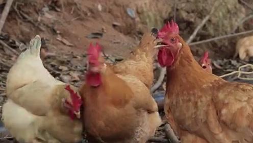 母鸡在下蛋后,为什么还要叫很长的时间,真实原因让人哭笑不得