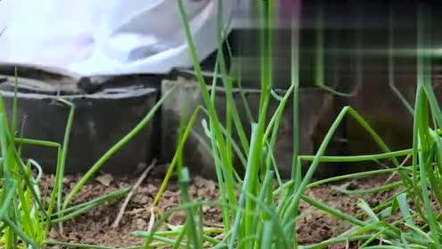 李子柒:菜园里蔬菜都熟了,一大早采摘,这生活太惬意了
