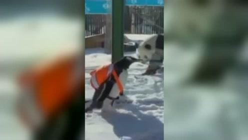 最萌同框!企鹅坐专列火车去见大熊猫 大熊猫:等我吃完饭再玩儿