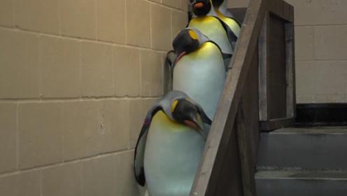 七只企鹅排队下楼梯,最后一只才是高手,网友:它这是离线了