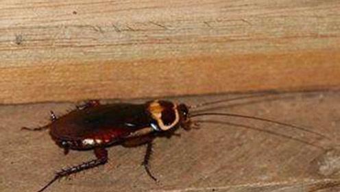 蟑螂别用脚去踩,用上这招,家里一只蟑螂也没有,方法太棒了