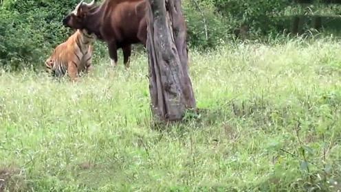 老虎捕杀水牛,看准机会一击致命,不愧为百兽之王!