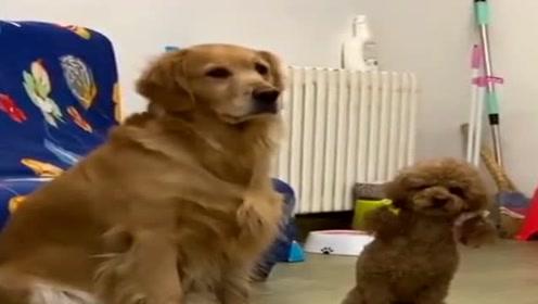 铲屎官让狗狗表演技能,接下来的反应可爱了,网友:狗狗真棒!