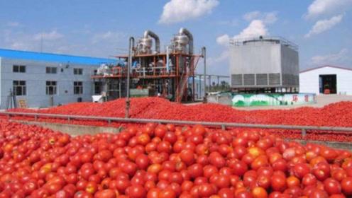 国外番茄酱工厂上班太爽了,红艳艳的番茄吃到撑,看完让人流口水!
