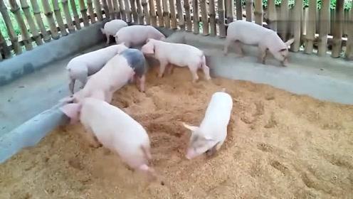 这样养猪,养的白白净净呢
