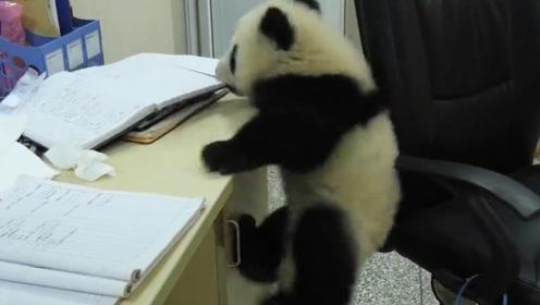 捣蛋的小熊猫,想趁饲养员不注意的时候越狱,镜头记录全过程