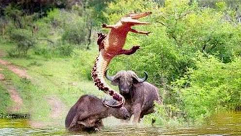 一头野牛被鳄鱼咬住,旁边的水牛大发雷霆,冲上去就将鳄鱼顶飞!