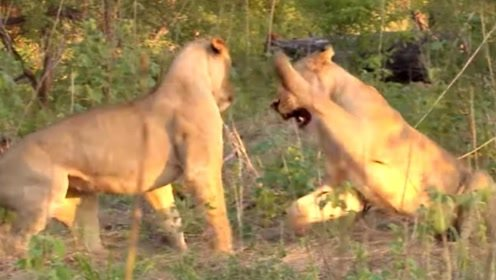 雄狮趁母狮睡着后偷袭它,结果反倒被暴揍一顿,太逗了