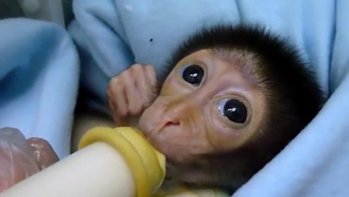 小猴子太饥饿一直嘬手,下一秒抱着奶瓶的样子,看完心都萌化了