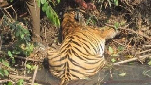 老虎躺在湖边一动不动,老人走近后,眼泪差点掉下来