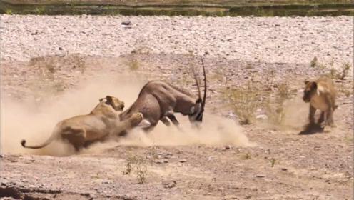 狮子姐妹捕食羚羊,没想遇到疯狂反抗!镜头拍下惊险全过程