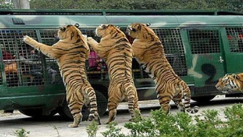 观光车进入老虎园,究竟是人看老虎,还是老虎看人?