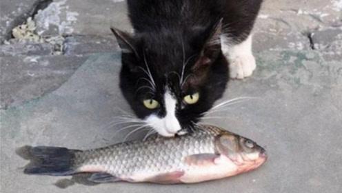 猫咪吃鱼为什么不害怕鱼刺?看到放大镜头,真相终于揭开