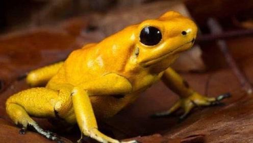 世界3大最毒青蛙,眼镜蛇都不敢惹,遇见最好躲得远远的